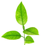 Image of green plant isolated over white Royalty Free Stock Images