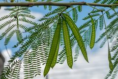 Image of green seeds of acacia farnesiana tree growing in nature environment for food on sky background. Royalty Free Stock Images