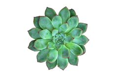 A Green Succulent Plant in White Background. Image of a green succulent plant (echeveria) taken from above isolated in white background royalty free stock photos