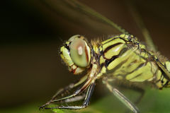 Image of green tiger skimmer dragonfly Orthetrum sabina Stock Photos
