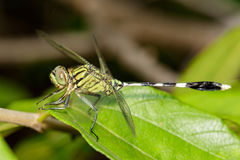 Image of green tiger skimmer dragonfly Orthetrum sabina Royalty Free Stock Photo