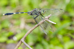Image of green tiger skimmer dragonfly Orthetrum sabina Stock Photo