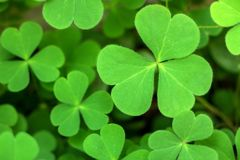 Close-up of Green Shamrock Leaves stock photos