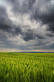 Image of a green wheat field Royalty Free Stock Photography