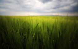Image of a green wheat field Royalty Free Stock Images