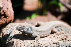 Lizard on the stone. Image of the grey lizard on the stone.Canary Islands Stock Image