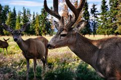 A group of deer standing in a field near Whitehorse, Yukon. A image of a group of deer standing in a field near Whitehorse, Yukon royalty free stock photos