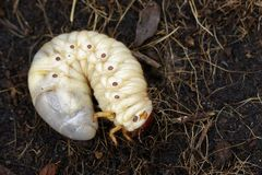 Image of grub worms, Coconut rhinoceros beetle. Royalty Free Stock Image