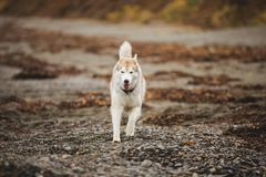 Image of funny and happy Beige and white Siberian Husky dog running on the beach at seaside in autumn. Image of happy and free Beige and white Siberian Husky dog royalty free stock images