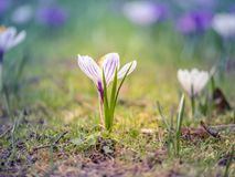 Image haute étroite d'un crocus blanc et pourpre sur un champ avec le beau fond trouble coloré photo libre de droits