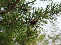 Image haute étroite de branche de pin avec des cônes image stock