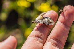 Image haute étroite de peu d'insecte gris et brun et d'une mouche photos stock