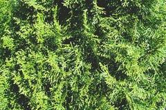 Image haute étroite de thuja image stock