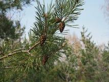 Image haute ?troite de branche de pin avec des c?nes photo libre de droits