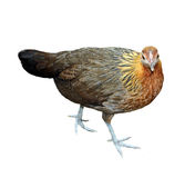 Image of hen Royalty Free Stock Photo