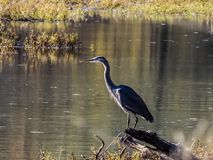 Heron Wading. Image of a Heron, wading through the water looking for some dinner in the Summer afternoon. The Herons are the long-legged freshwater and coastal stock photography