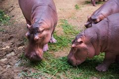 Image of a Hippo - hippopotamus Hippopotamus amphibius stock image
