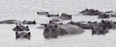 Hippos. Image of hippos in a leke stock image