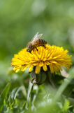 Image of Honey bee Royalty Free Stock Photography