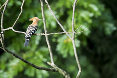 Image of hoopoe on nature background. Royalty Free Stock Photo