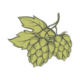 Image of hops Royalty Free Stock Photo