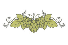 Image of hops Stock Images