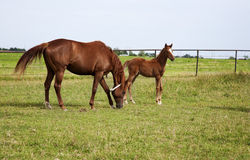 Image of a horse mare and foal playing and grazing on green meadow Royalty Free Stock Photo