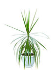 Image houseplant dracaena palm in a pot Royalty Free Stock Images