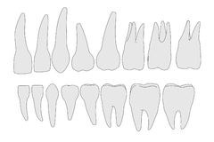Image of human teeth Stock Photography