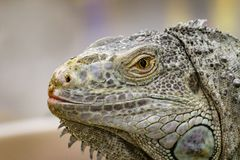 Image of an iguana head on nature background. Reptile. Animals.  stock images