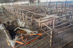 image of indoor dirty pig farm with paddock. Stock Image