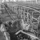 image of indoor dirty pig farm with paddock. Royalty Free Stock Photo