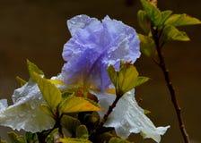 Iris flower after a heavy rain stock image