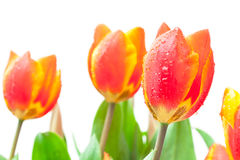 Image of isolated red tulips Royalty Free Stock Image