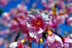 Japanese Cheery Blossoms. An image of Japanese Cheery Blossoms Royalty Free Stock Photo