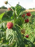 Image of juicy raspberry close up in the garden. Photo for your design Royalty Free Stock Images