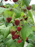 Image of juicy raspberry close up in the garden. Photo for your design Stock Photos