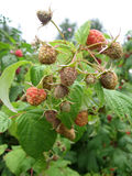 Image of juicy raspberry close up in the garden. Photo for your design Stock Image