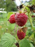 Image of juicy raspberry close up in the garden. Photo for your design Royalty Free Stock Photos