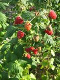 Image of juicy raspberry close up in the garden. Photo for your design Royalty Free Stock Photography