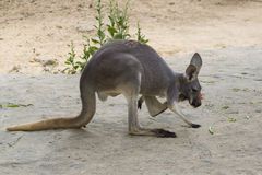 Image of a kangaroo on nature background. Royalty Free Stock Photos