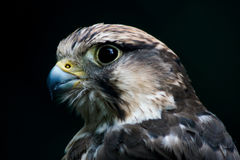 An image of a Lanner Falcon close up headshot Royalty Free Stock Photos