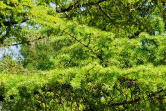 The image of a larch branch Royalty Free Stock Images