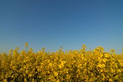 Image of a large oilseed field Stock Image