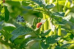 Larva of a harmful insect Colorado potato beetle on a potato le royalty free stock photography