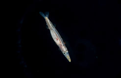Image of a larval Barracuda at night. A larval Barracuda at night in the gulfstream stock image