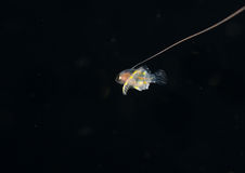 Image of a larval basslet at night. A larval Basslet at night in the gulfstream royalty free stock photos