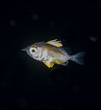 Image of a larval Squirrelfish at night. A larval Squirrelfish at night in the gulfstream stock photography