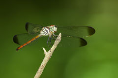 Image of lathrecista asiatica dragonflyfemale Royalty Free Stock Images