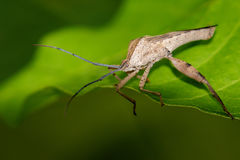 Image of a Leaf-footed bugs on green leaves. Insect Stock Image
